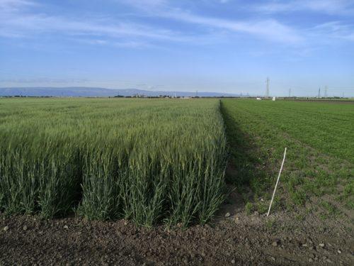 A La Quercia, sito sperimentale-dimostrativo di Hort@ a Foggia, cereali e leguminose sono al centro di numerose prove